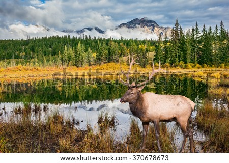 Jasper National Park in the Rocky Mountains. Proud deer antlered stands on the banks of the pretty lake. The lake reflects multi-colored autumn woods and mountains - stock photo