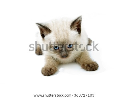 kitten playful siamese baby cat ,  furry feline blue eyes and paws in front view on white table - stock photo