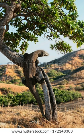 Komodo dragon, Varanus komodoensis climbs on a tree in search of food. Indonesia.  - stock photo