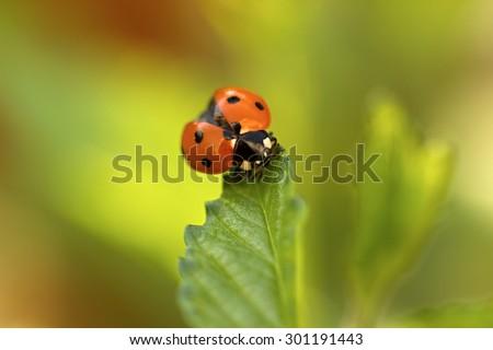 Ladybug, Coccinella septempunctata on leaf - stock photo