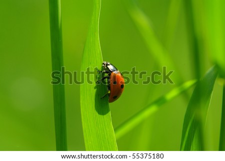 ladybug sitting on the blade of grass - stock photo