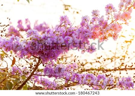 Lagerstroemia floribunda flower during sunset - stock photo