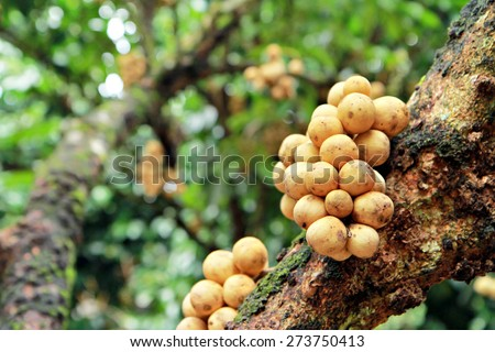 Lanzones tree with background blurred by macro lens - stock photo