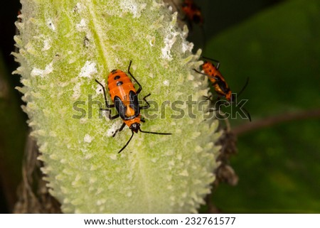 , Large Milkweed Bug, Oncopeltus fasciatus, inymph - stock photo