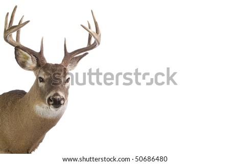 Large whitetail buck isolated on white background - stock photo