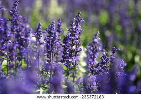 lavender flower background ,Purple violet color sunny blurred lavender flower field closeup background - stock photo