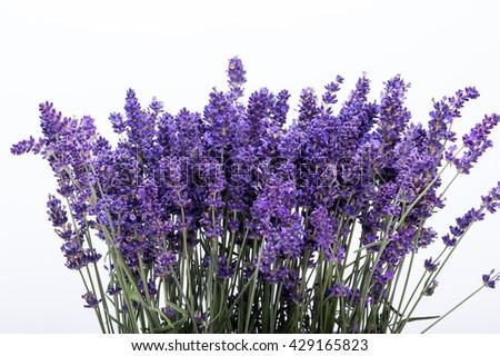 Lavender isolated on white background. Close up - stock photo