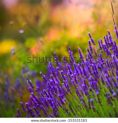 lavender sunshine in morning - stock photo