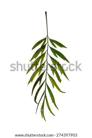 Leaf  of grevillea robusta  isolated on white - stock photo