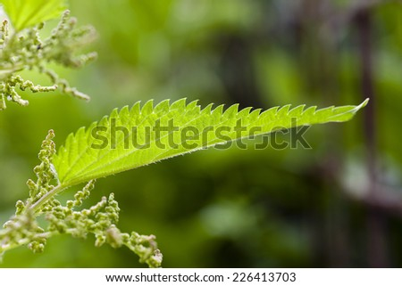 leaves of a green moloy nettle - stock photo