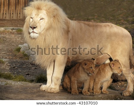 Lion caring for his two little babies - stock photo