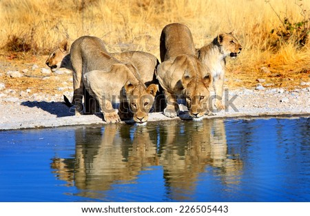 2 Lionesses drinking from waterhole with 2 cubs - lovely reflection in evening sunlight - stock photo