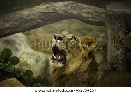 Lions look through the glass cage in a zoo in Thailand. and selective focus - stock photo