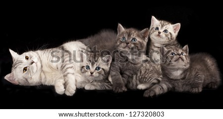 little British kittens and mother cat - stock photo