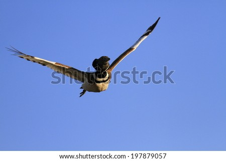 Little Bustard Tetrax tetrax - stock photo