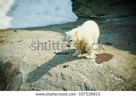 little Polar Bear - Ursus Maritimus - stock photo