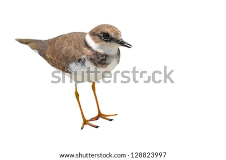little-ringed plove bird on white background - stock photo