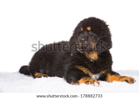 little security guard - black and red puppy of Tibetan mastiff sitting on snow. isolated white background - stock photo