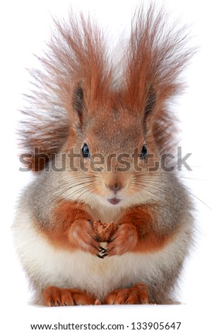 little squirrel eats hazelnut on a white background - stock photo