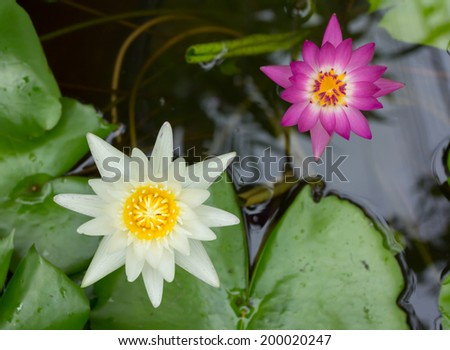 lotus blossoms or water lily flowers blooming - stock photo