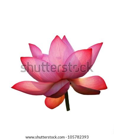 Lotus isolated on white background - stock photo