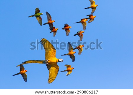 Macaw and Sun   Flock of flying in the sky and enjoy. - stock photo