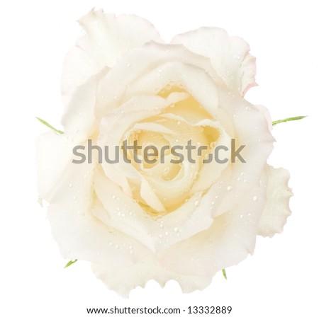 macro image of a white rose. Isolated on white. - stock photo