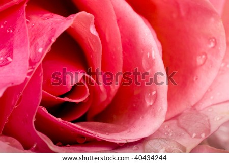 Macro image of  red rose with water droplets. Extreme close-up with shallow dof. - stock photo