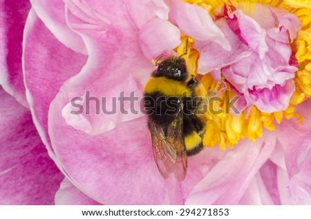 Macro photo of Bumblebee sucking pollen on a pink flower. - stock photo