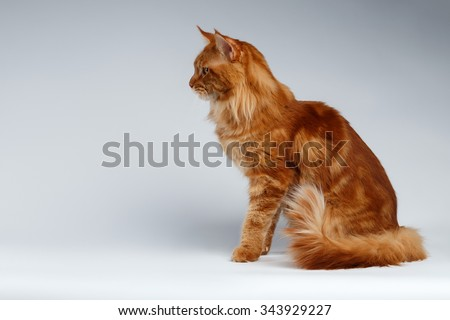 Maine Coon Cat Sits  in Profile view on White background - stock photo
