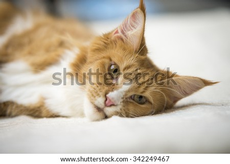 Maine Coon red tabby lying on bed - stock photo