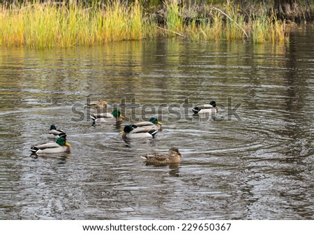 Male and Female Mallards Swimming on Pond - stock photo