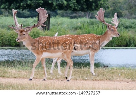 2 male buck fallow red deer by lake Richmond england - stock photo