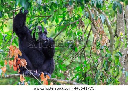 male gorilla on tree - stock photo