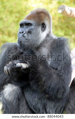 Male gorilla on watch - stock photo