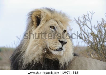 Male lion (Panthera leo)  in the Kalahari desert. He carries an injury caused by a tangle with a porcupine.   KWANG, Kgalagadi transfrontier park, South Africa - stock photo
