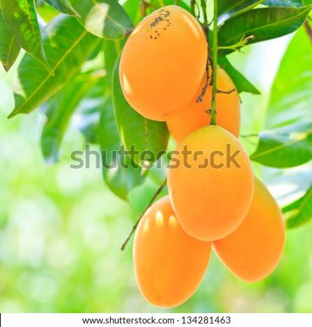 Maprang Marian Plum and  Plum Mango thailand - stock photo