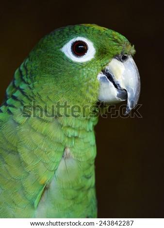 mealy amazon   male (Amazona farinosa farinosa) - stock photo