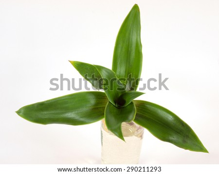 Medical herb plant callisia fragrans known as basket plant or chain plant or inch plant or golden string in water glass on white background close up top view.       - stock photo