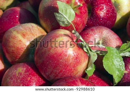 """Michigan Apples"" - Picked from the orchard - Greenville, Michigan, USA. - stock photo"
