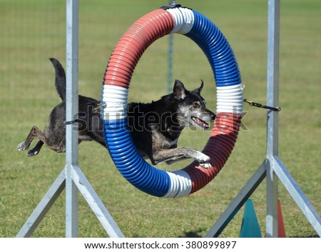 Mixed-Breed Dog Jumping Through a Tire at Dog Agility Trial - stock photo