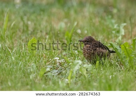 mocking-bird looking for food - stock photo
