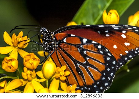monarch butterfly (Danaus plexippus) is a milkweed butterfly (subfamily Danainae) in the family Nymphalidae - stock photo