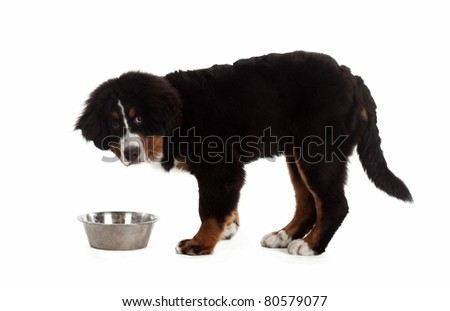 5 month old bernese mountain dog eating from a bowl in studio, on white isolated - stock photo