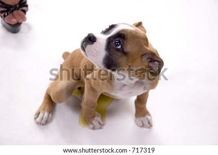 3 month old Boxer puppy caught peeing during the shoot! - stock photo