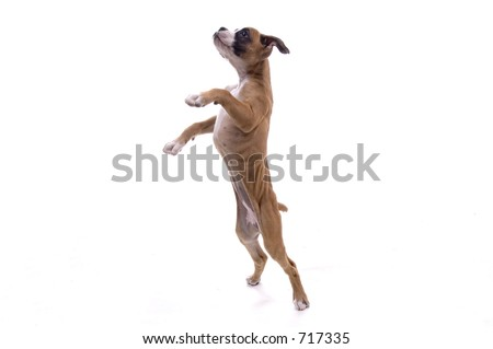 3 month old Boxer puppy standing on hind legs - stock photo