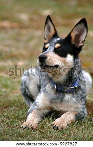 4 month old female Blue Heeler pup - stock photo