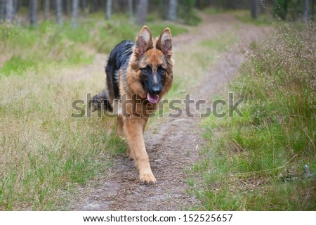 6-month-old German Shepherd puppy - stock photo