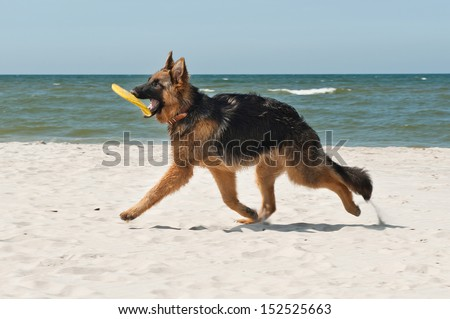 6-month-old German Shepherd puppy playing on the beach - stock photo