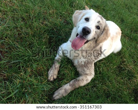 6 month old Golden Retriever dog lays on grass and is covered in mud - stock photo